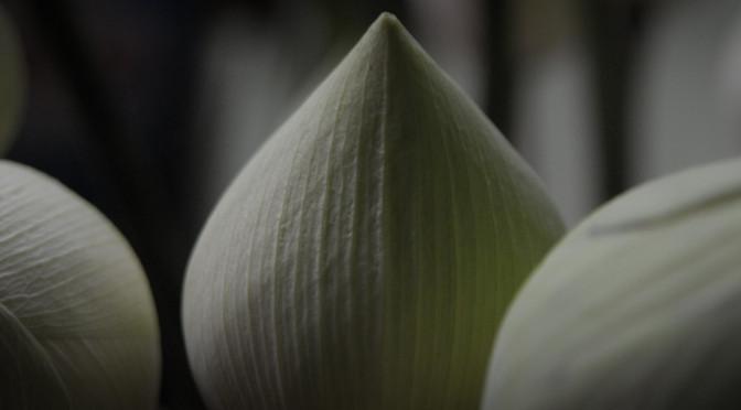 uitkomende lotus